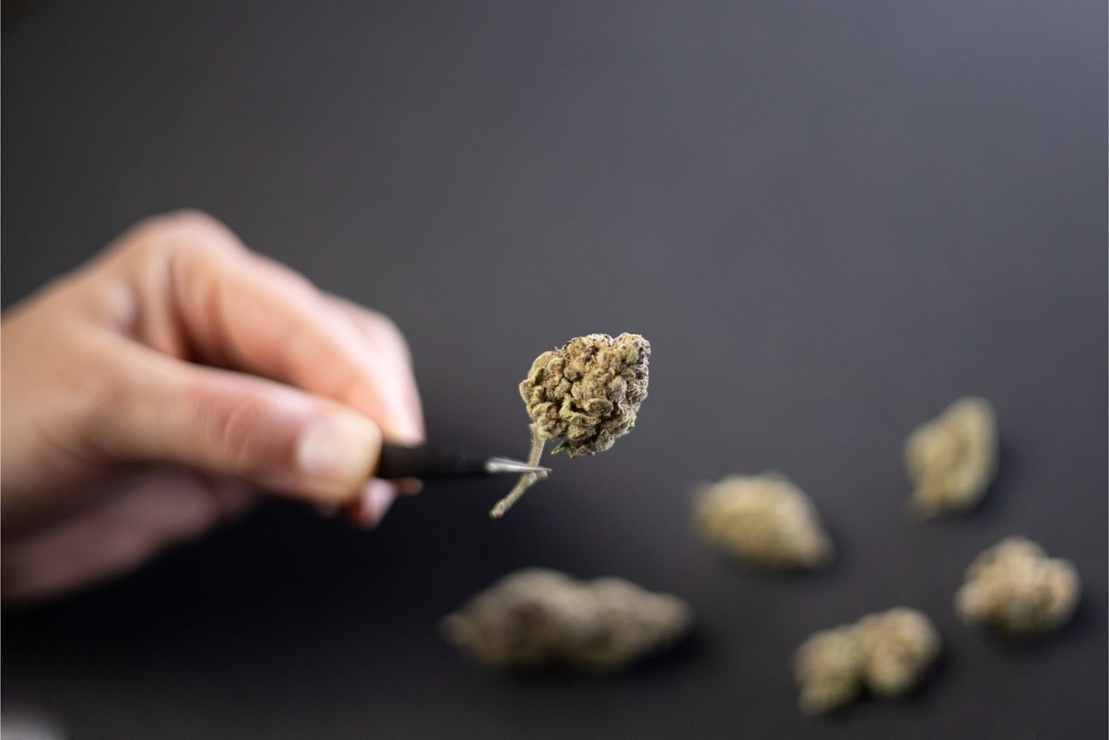 a dried cannabis flower being examined